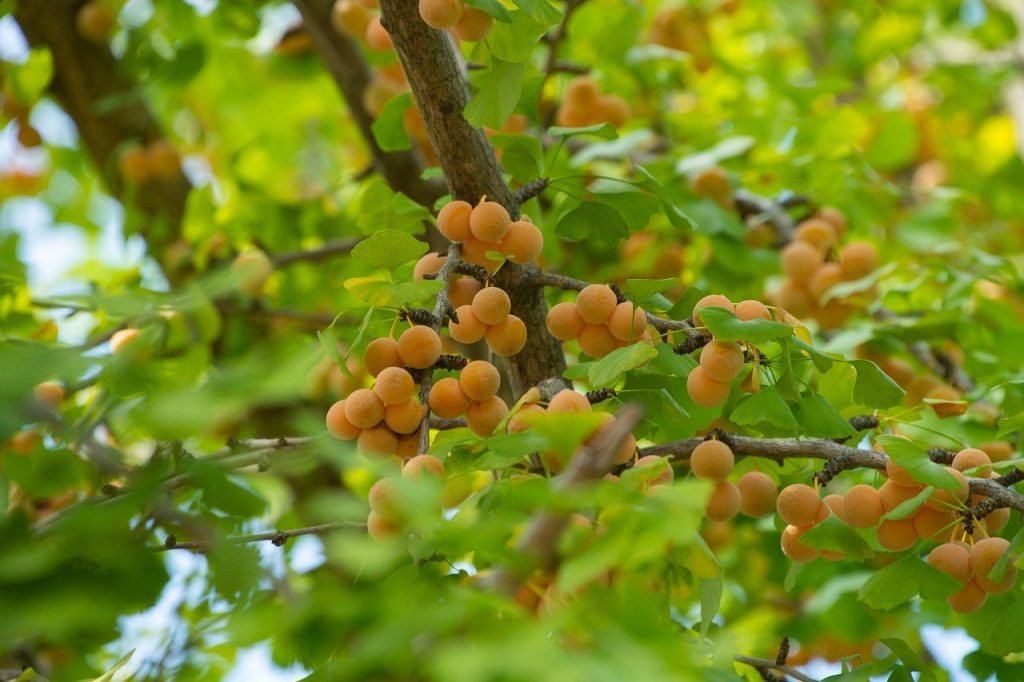 Les fruits du ginkgo